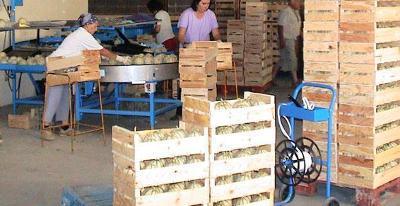 Calibreuses pour melons - 1 500 et 2 500 kg / heure