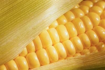 maíz - maíz amarillo, maíz blanco y maíz de palomitas