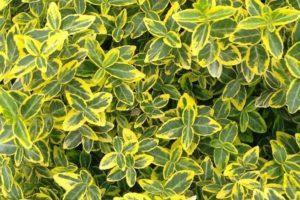 Euonymus - Arbusti