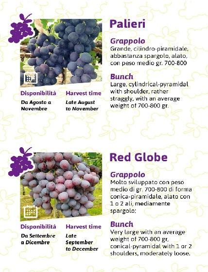 Uva da tavola aziende - Red globe uva da tavola ...