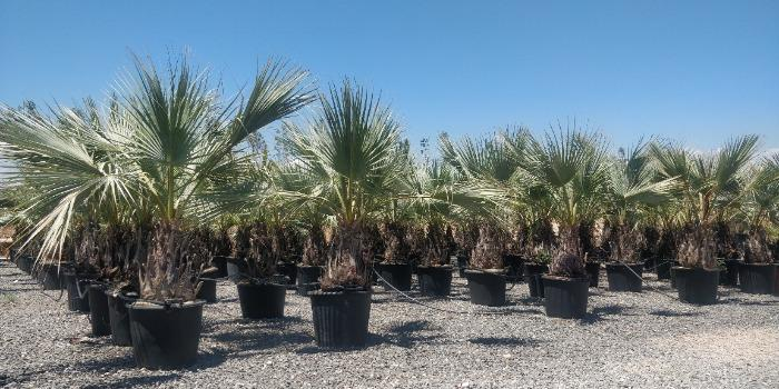 Special Palm trees - Several sizes for all palms