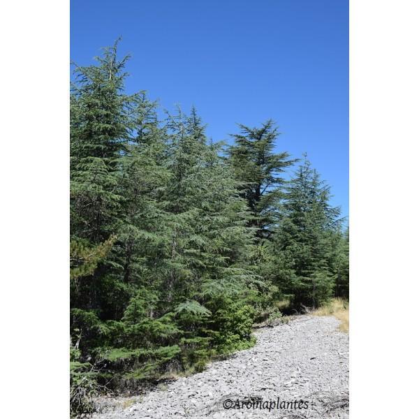 Huile essentielle de bois de Cèdre biologique - Huiles essentielles