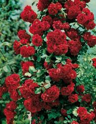 Rosai rampicanti a fiore piccolo - Rosso Vivo