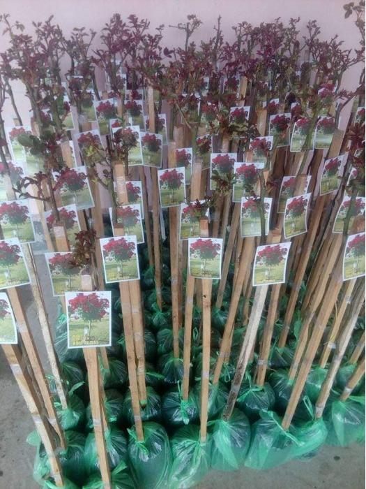 Columnar Stem Rose plants -