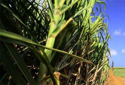 Sugarcane Cultivation -