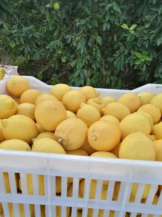 Limone egiziano - GANETELZOHOR