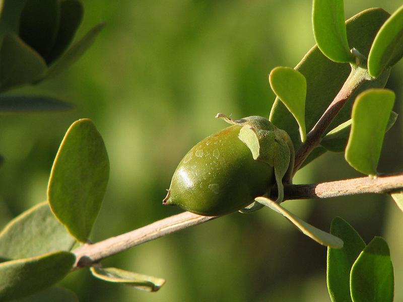 Jojoba (Simmondsia chinensis) - null