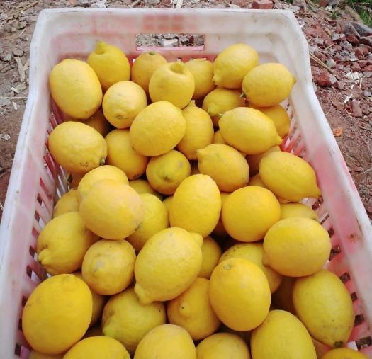 Limón Egipcio - Dhalia y cebada
