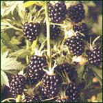 Berries - Blackberry (Loch Ness)