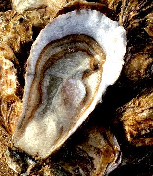 Huîtres Françaises fraîches