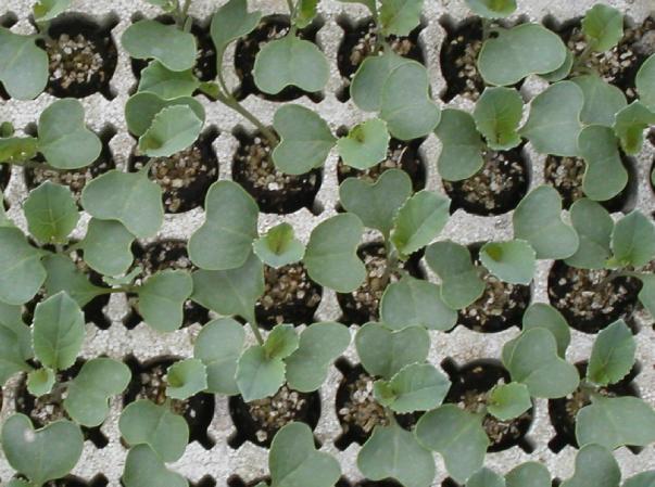 Vermiculite - null