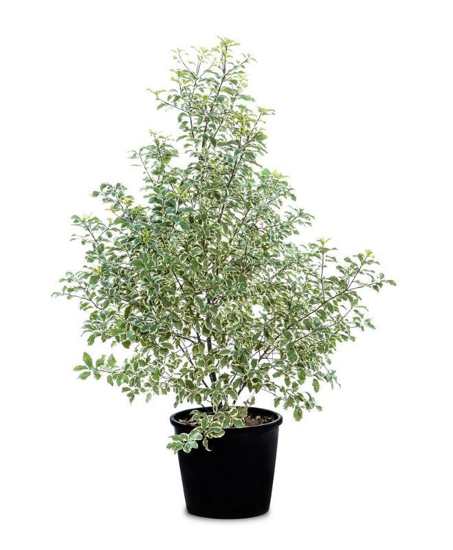 Pittosporum tenuifolium - Arbusti