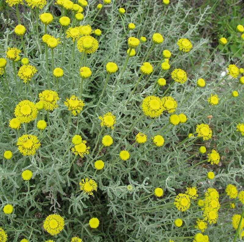 Santolina - Arbusti Aromatiche