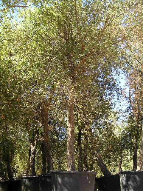 Quercus suber - null