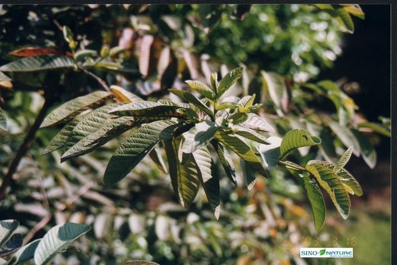Cassia bark - Fine cut