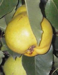 Pera Pala Pir (boccone da prete) - Matura a settembre