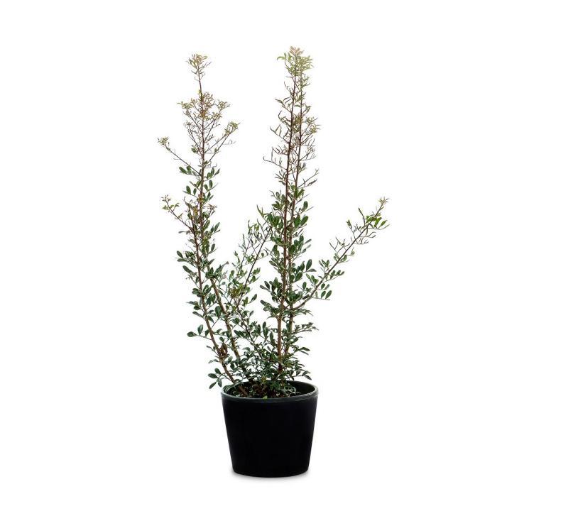 Pistacia lentiscus - Arbusti