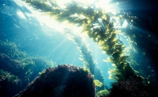 Laitue de mer - La laitue de mer stimule le système immunitaire !