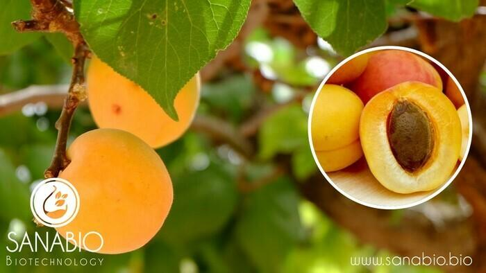Aprikosenkernöl, BIO FOOD - null