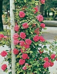Rosai rampicanti a fiore piccolo - Rosa Antico