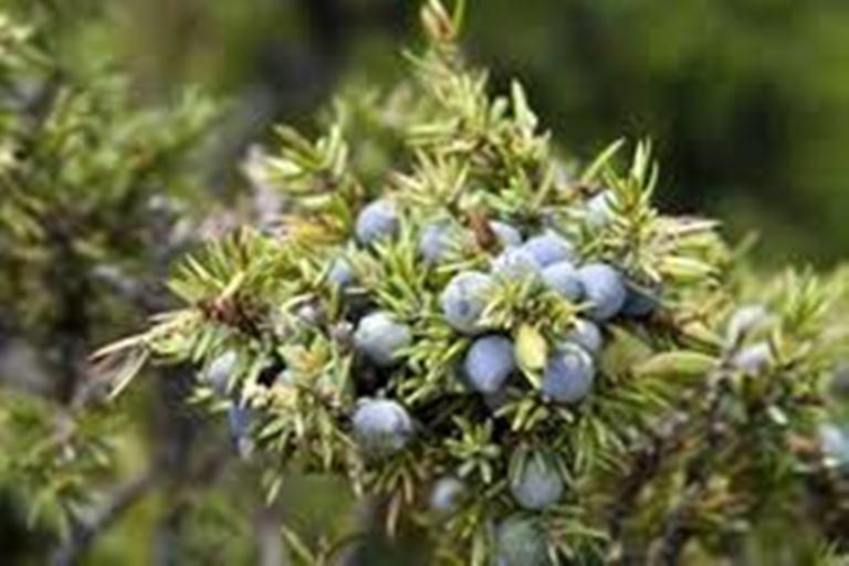 Ancient Healer Juniper berry Oil 15ml to 1000ml - Juniper berry Oil