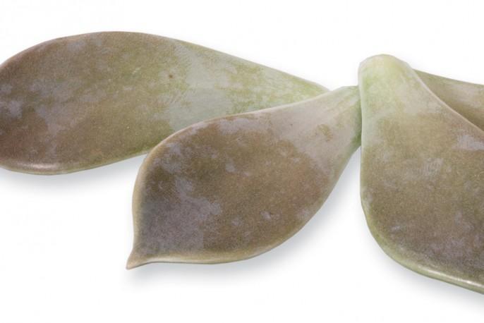 Majii Leaves - Micro végétaux