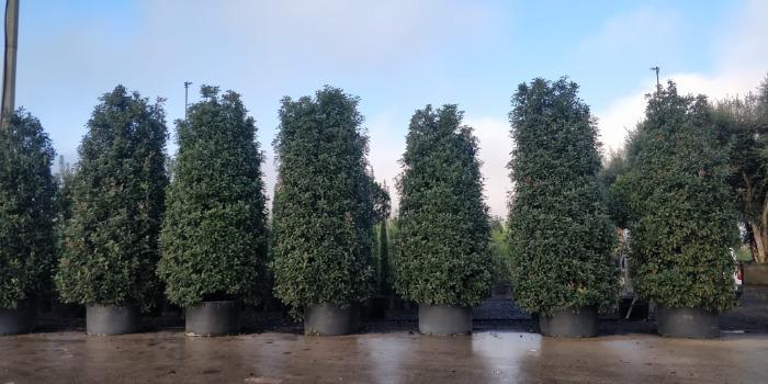 Tall Shrubs - Several sizes
