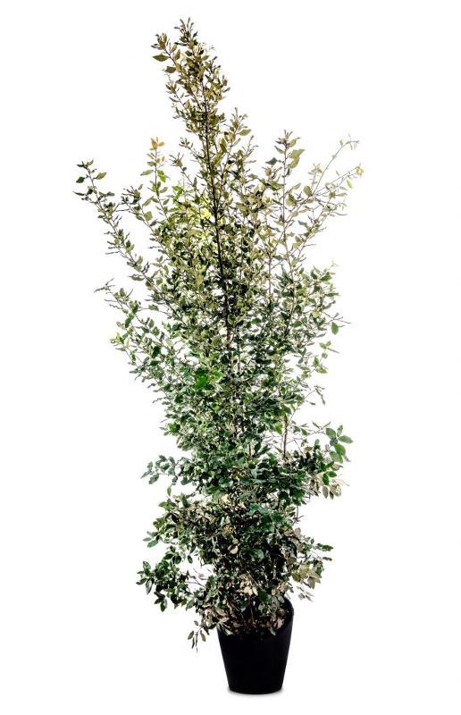 Quercus ilex - Alberature Alto Fusto Arbusti