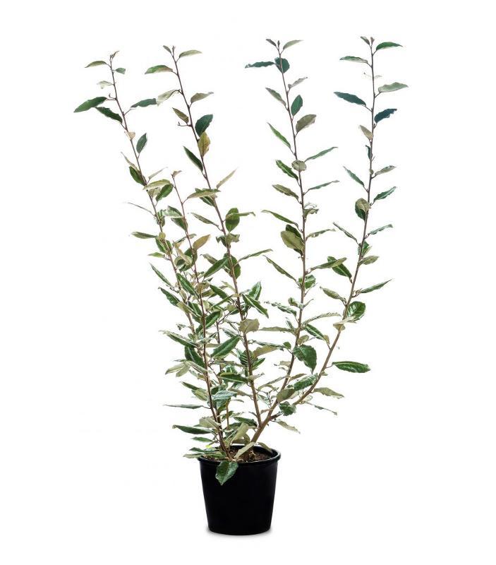 Eleagnus ebbingei - Arbusti