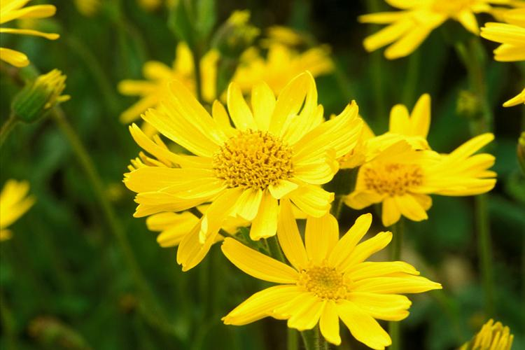 Arnica flowers, flower