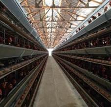 Poulaillers industriels - Bio-industrie Viande