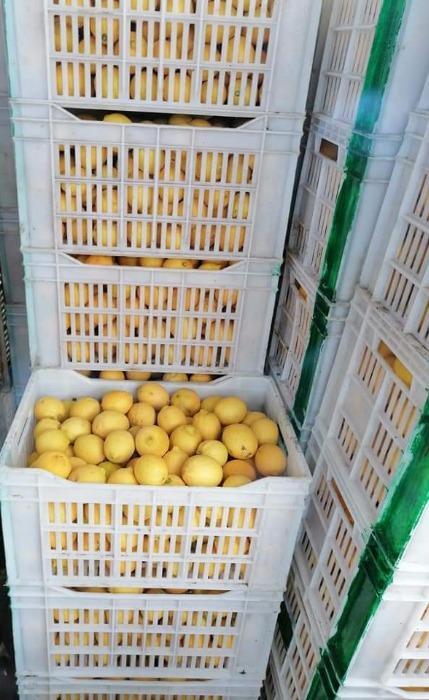 Egyptian Lemon - GANETELZOHOR