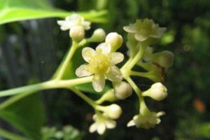 Cinnamomum Camphora - Arbusti