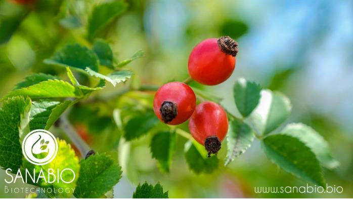 Organic Rosehip Oil - ROSA CANINA SEED EXTRACT