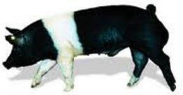 Pigs - Hampshire