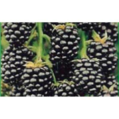 ARBUSTI DA FRUTTO: MORA - rubus fruticosus -