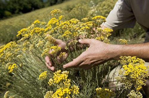 Immortelle Helichrysum Italicum Essential Oil - Immortelle Essential Oil from Croatia
