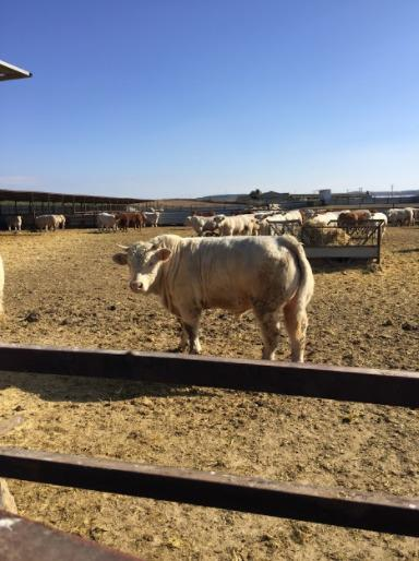 Cattle Charolais, limusin, crosses