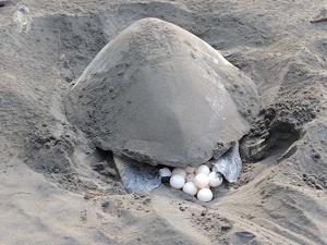 tortugas marinas en africa - desove de la tortuga laud desde noviembre hasta marzo