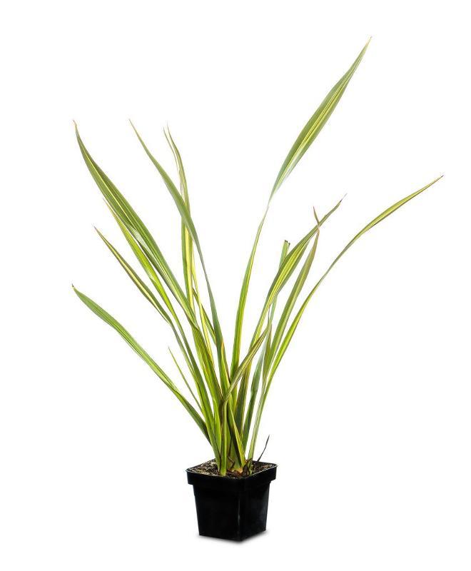 Phormium tenax verde - Arbusti