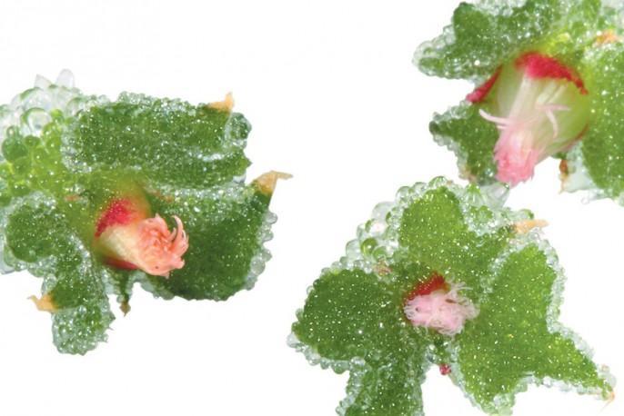 BlinQ Blossom - Micro végétaux