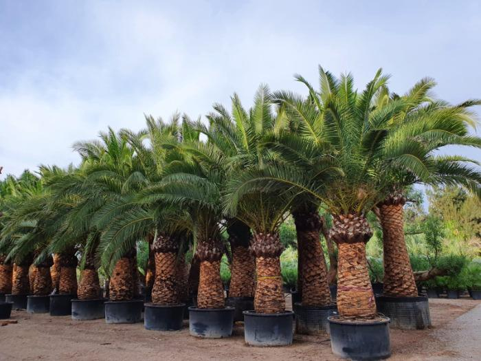 Phoenix Canariensis and Dactilifera - Several sizes for all palms