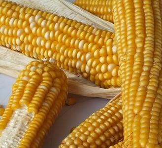 MAIZE SEED - MAIZE SEED FOR ANIMAL FEED AND HUMAN CONSUPTION