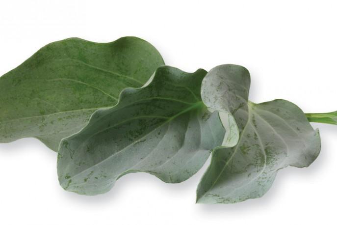 Oyster Leaves - Micro végétaux