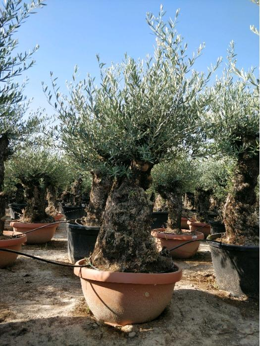 Olive Tree in Deco pots - Several sizes
