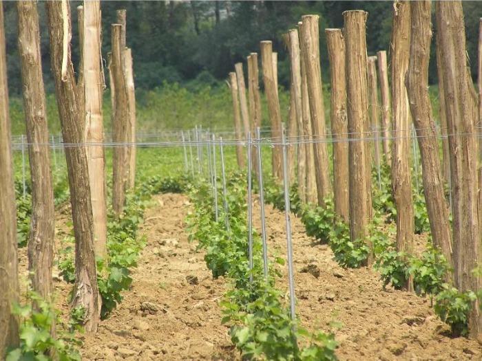 RED GRAPE VARIETIES - Red grape varietes grafts