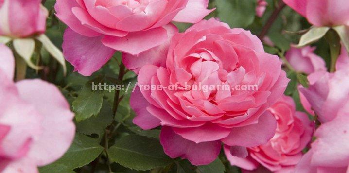 Eau de Parfum Damast Rose, 25ml - Eau de Parfum für Frauen, hergestellt in Bulgarien