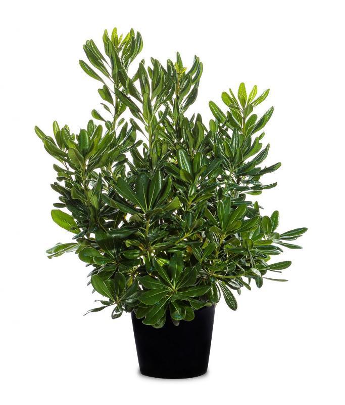 Pittosporum tobira - Arbusti