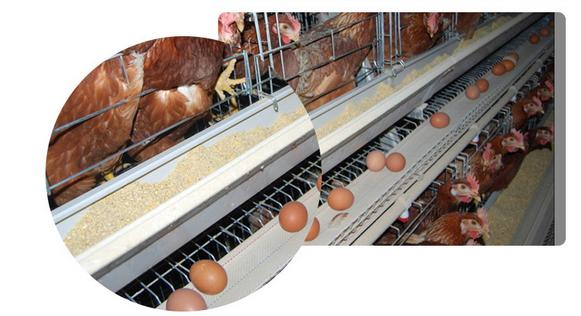Chicken layer cage - Animal Cages