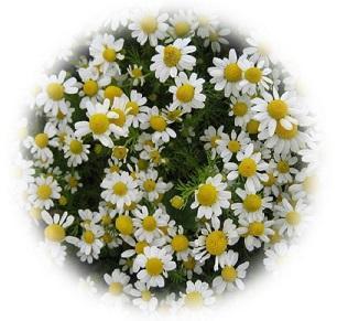 German chamomile - Herbal Medicine